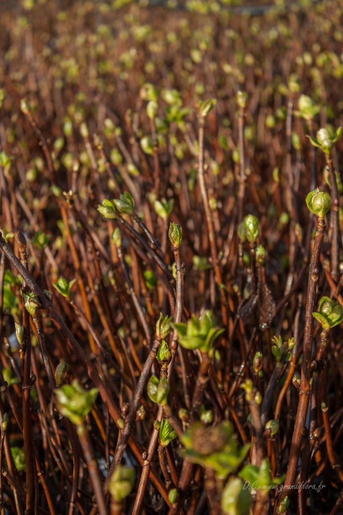 Hydrangea macrophylla \' Mme Emile Moullière