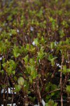 Hydrangea macrophylla \' rose \'