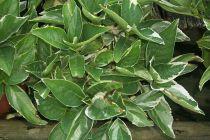 Hydrangea macrophylla \' Tricolor \'