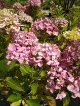 Hydrangea macrophylla \'Belle seduction\'
