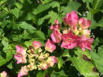 Hydrangea macrophylla \'Geoffrey Chadbund\'