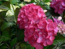 Hydrangea macrophylla \'Grünes Gewölbe\' ®