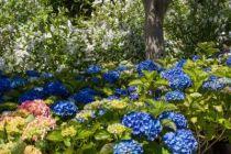 Hydrangea macrophylla \'Hamburg\' ou hortensia de jardin à tête ronde bleue ou rose suivant l\'acidité du sol, à planter en exposition ombre ou mi-ombre et en terrain frais.