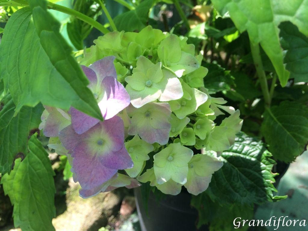 Hydrangea macrophylla \'Hamburg\'