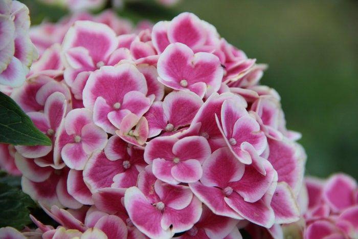 Hydrangea macrophylla \'Harlequin\'