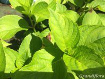 Hydrangea macrophylla \'Kuhnert\'