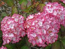 PTB2854_1 Hydrangea macrophylla \'Mirai\'
