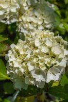 Hydrangea macrophylla Mme Emile Moullière, ou hortensia pour le jardin à floraison blanche finissant rosée en été, exposition ombre ou mi-ombre en sol frais