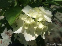 Hydrangea macrophylla \'Mme Emile Moullière\'