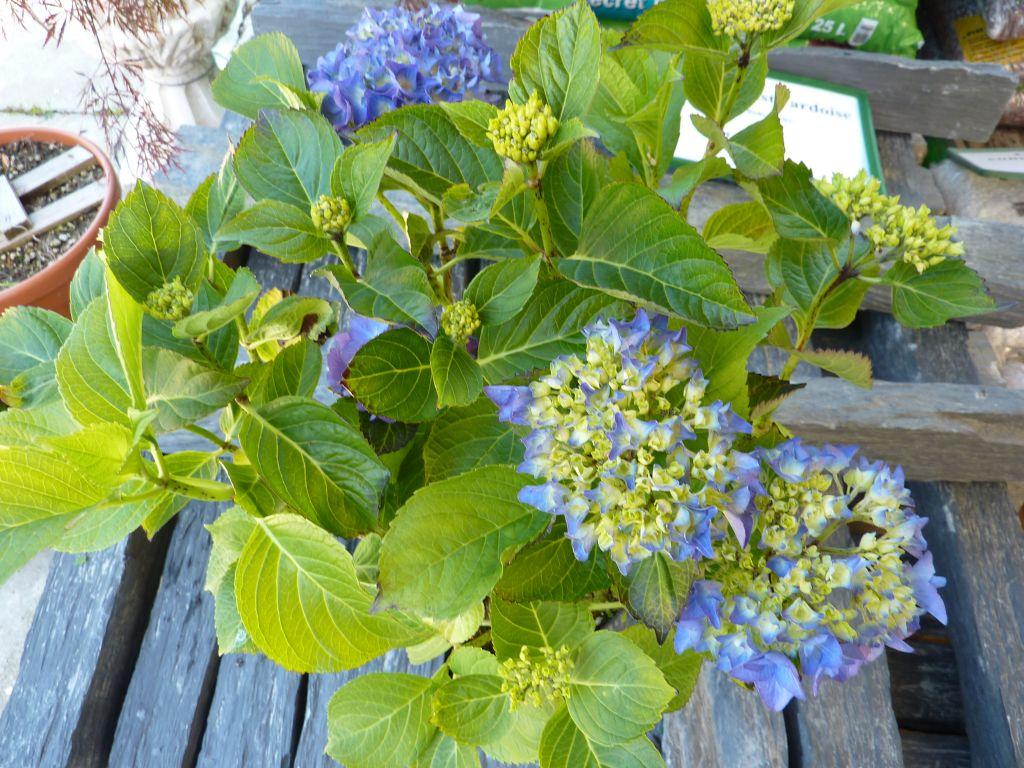 hydrangea macrophylla reinate steiniger B