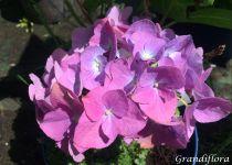 Hydrangea macrophylla \'Renate Steiniger\'