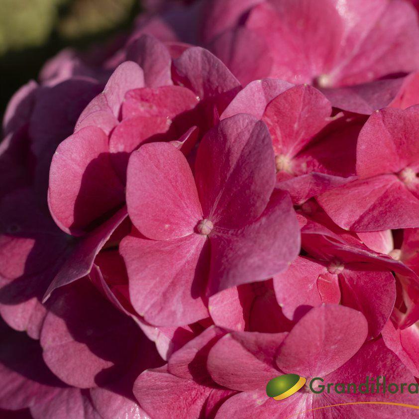 Hydrangea macrophylla \'rose foncé\'