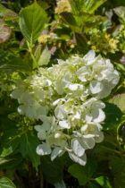 Hydrangea macrophylla \'Soeur Thérèse\' ou hortensia pour les jardins ombragés, à floraison en boule blanche en été en sol frais