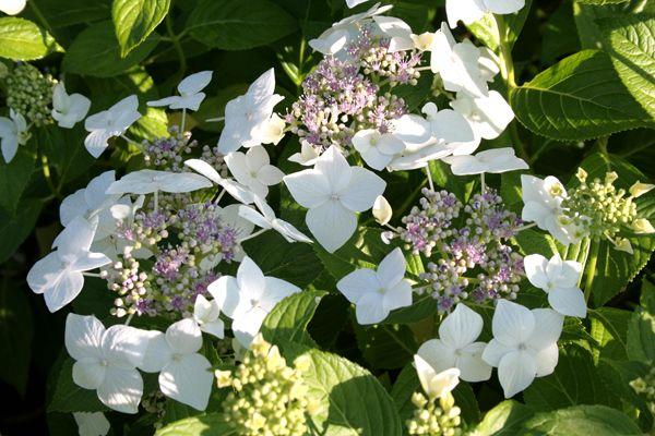 Hydrangea macrophylla \'teller Libelle\'