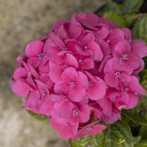Hydrangea macrophylla \'Tovelit\' nain