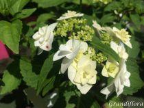 Hydrangea macrophylla \'Wedding Gown\' cov