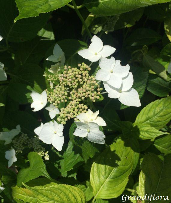 Hydrangea macrophylla \'White Wave\'