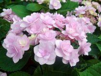 Hydrangea macrophylla \'You and Me Romance\'
