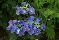 Hydrangea macrophylla \'Zorro\'