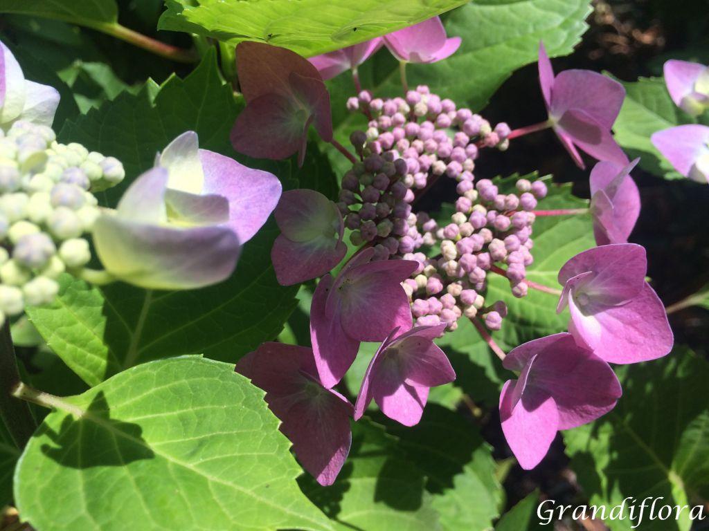 Hydrangea macrophylla \'Zorro Rose\'