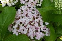 hydrangea macrophylla \'Ayesha\' ou hortensia à fleurs de lilas, floraison d\'été rose ou bleue suivant l\'acidité du sol. Exposition ombragée au jardin.