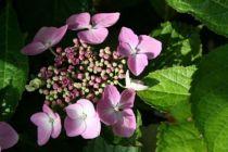 Hydrangea macrophylla \'Mariesii\' ou hortensia à tête plate rose pour les jardins ombragés à sol frais.