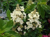 PTB35176-1 Hydrangea paniculata \'Tardiva\'
