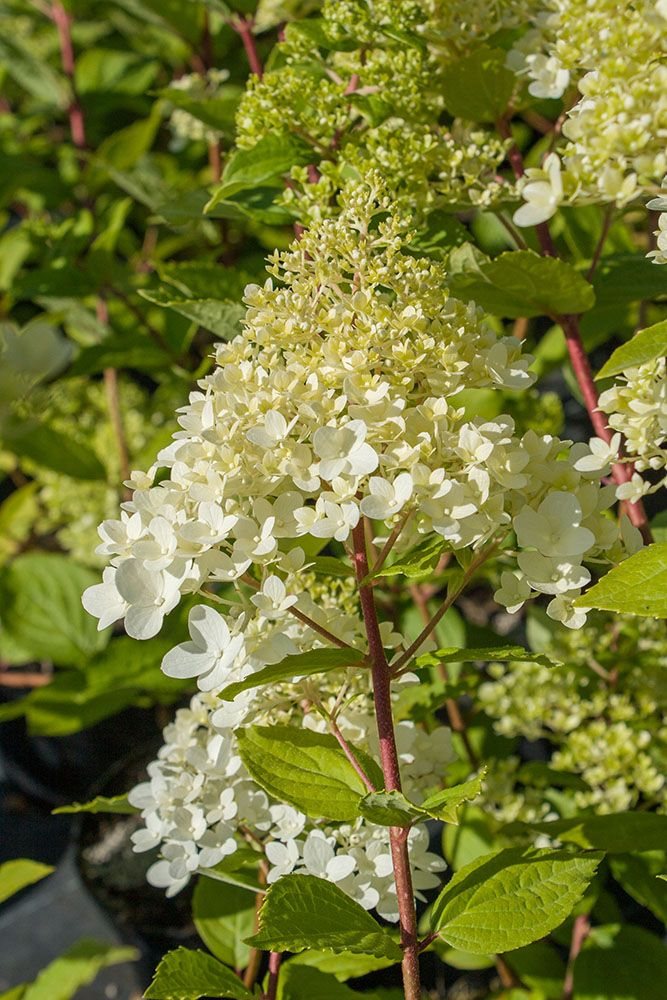Hydrangea paniculata magical moonlight \'Kolmagimo\'