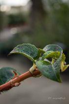 Hydrangea petiolaris ou hortensia grimpant à floraison blanche en été