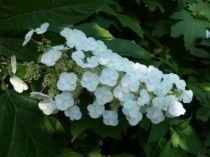 Hydrangea quercifolia \'Applause\'