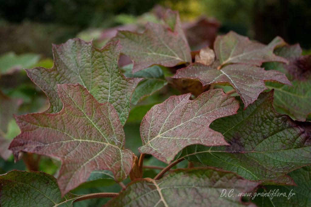 Hydrangea quercifolia ou hortensia à feuilles de chêne pour les jardins d\'ombre et de mi-ombre en sol frais et acide.