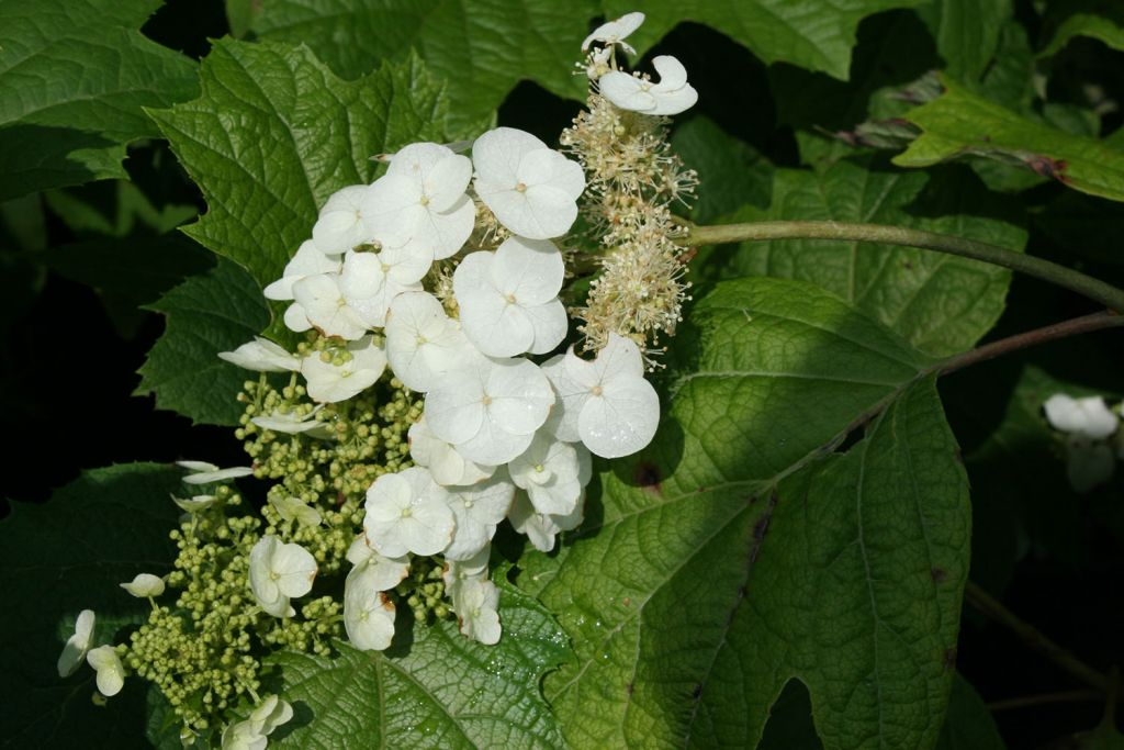 hydrangea quercifolia ou hortensia à feuilles de chêne, à floraison en grande panicule blanche en été.