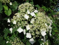 Hydrangea seemanii x petiolaris Semiola© \'inovalaur\'