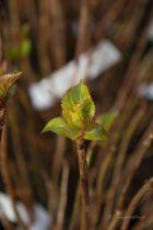 Hydrangea serrata \' Preciosa \'