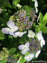 Hydrangea serrata \'Blue Bird\'