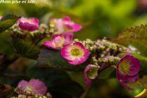 Hydrangea serrata \'Cotton Candy®\'