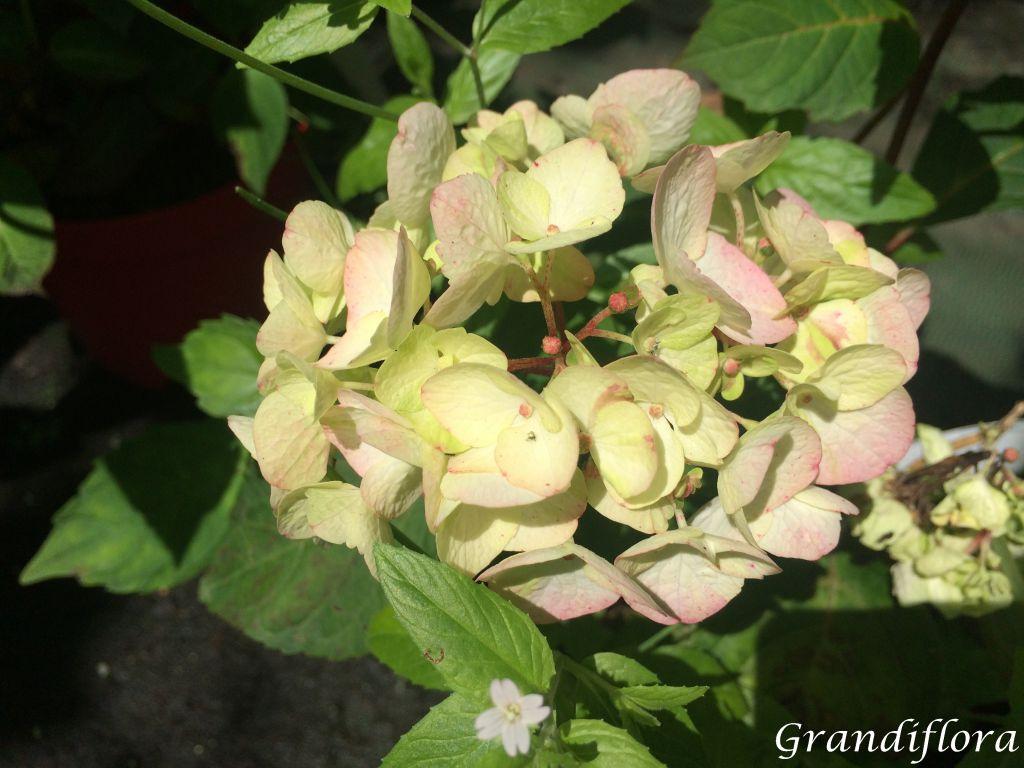 Hydrangea serrata \'Preciosa\'