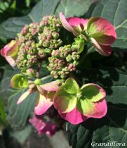 Hydrangea serrata Blueberry Cheesecake®