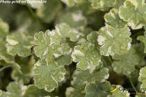 Hydrocotyle sibthorpioides \'Crystal Confetti\'