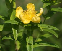 Hypericum polyphyllum \'Grandiflorum\'