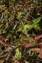 Hypericum x  moserianum \'Tricolor\'
