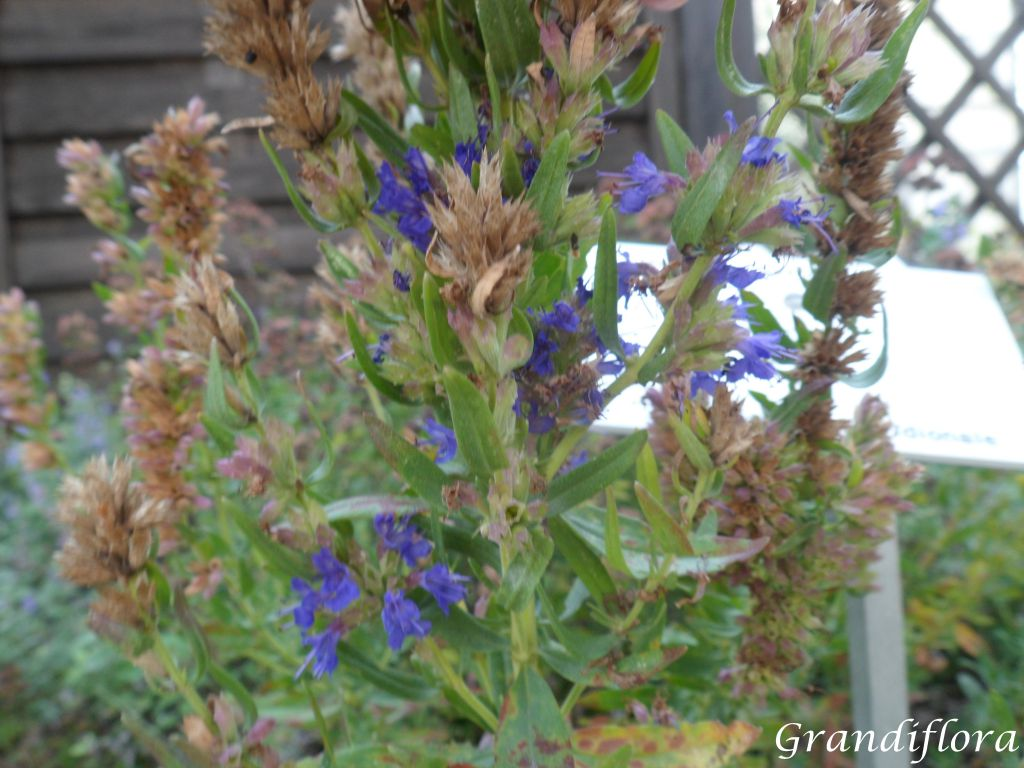 Hysope officinale