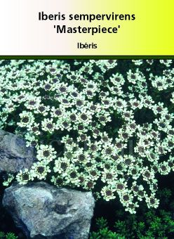 Iberis sempervirens \' Masterpiece \'