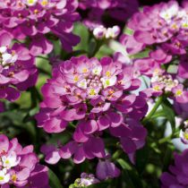 Iberis sempervirens \'Absolutely Amethyst\'