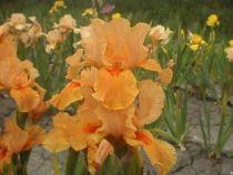 Iiris germanica \'Apricot Silk\', vivace à feuilles vertes persistantes et aux fleurs abricots et orange au printemps.