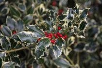 Ilex aquifolium \'Argentea marginata\' (femelle)