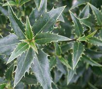 Ilex aquifolium \'Myrtifolia\'