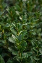 Ilex crenata \' Dark green \'