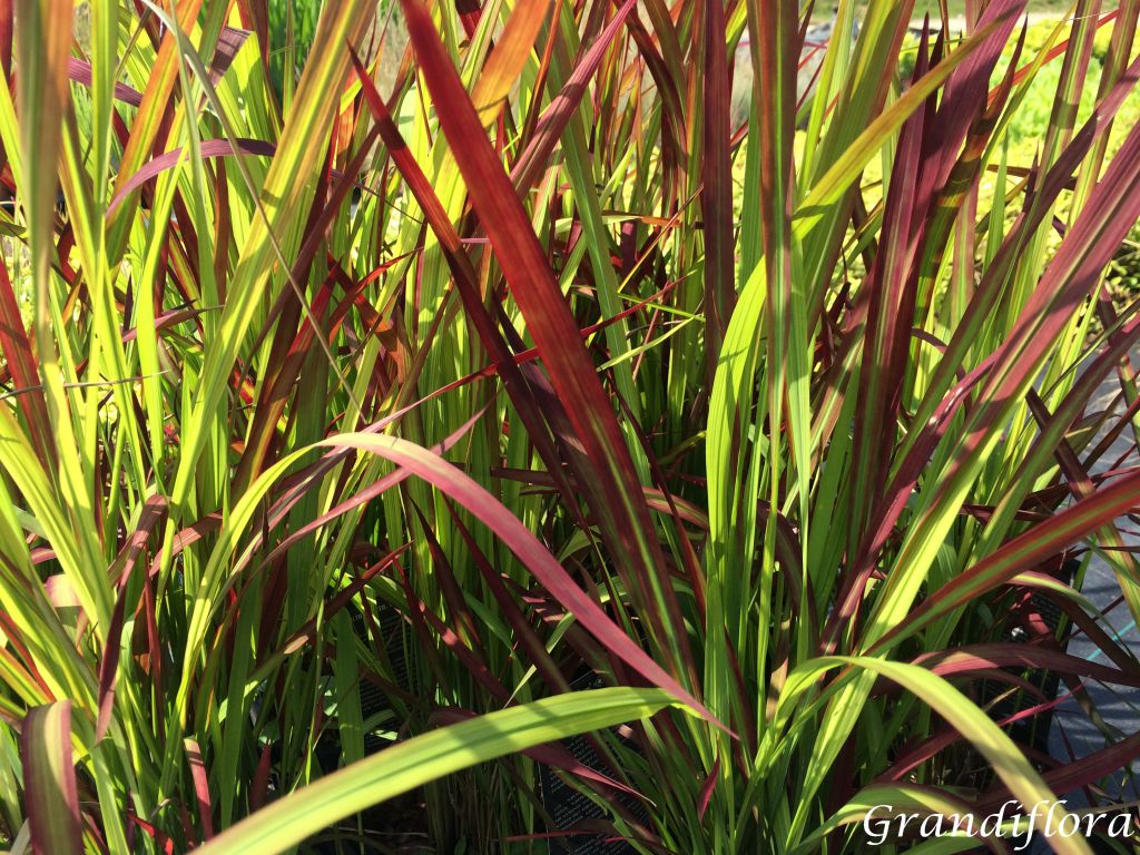 Imperata cylindrica \'Red Baron\'