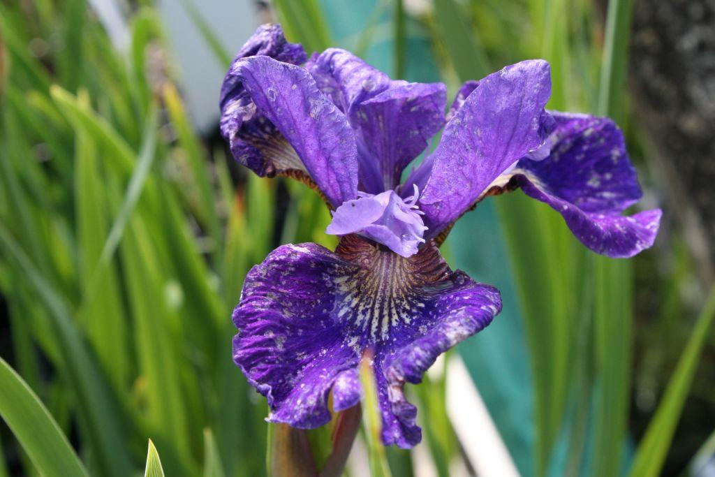 Iris * \'Ruffled Velvet\'